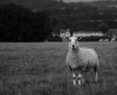 A Sheeps. OM-2n. 26-09-16